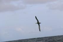 Albatros au large des Galapagos