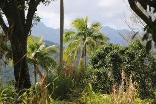 Sur le mont Temetiu (Hiva-Oa)
