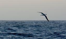 Albatros au large du cap de Bonne-Espérance